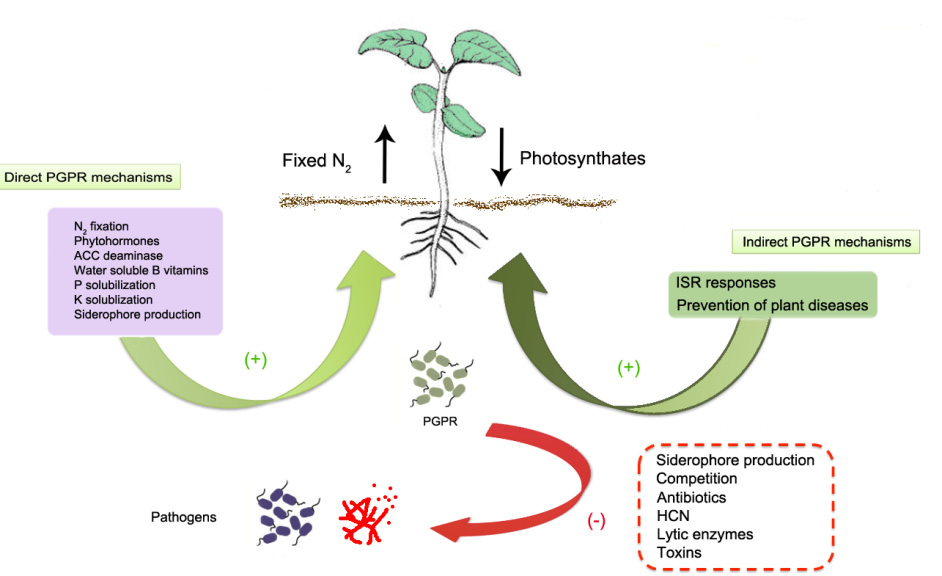 siderophore producing bacteria from sugarcane soil isolation Isolation and characterization of endophytic bacteria from endorhizosphere of sugarcane  the maximum siderophore  producing endophytic gram positive bacteria.