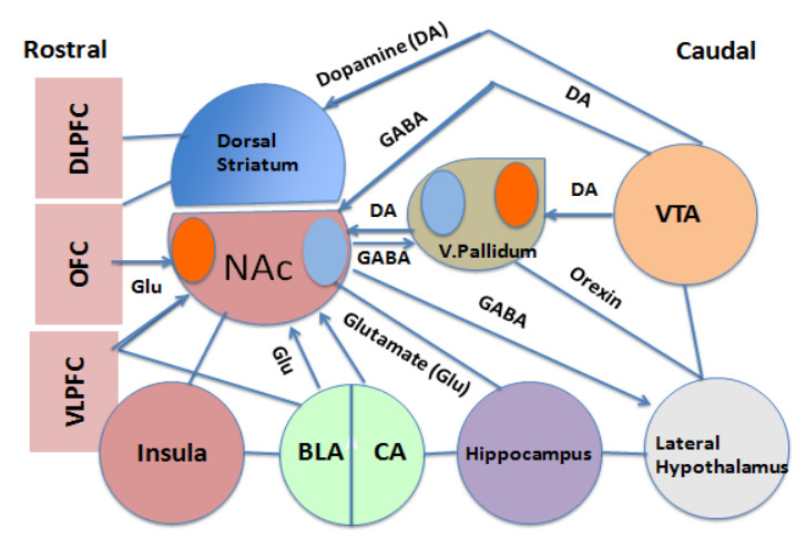 Open access journals basic neuroscience nucleus accumbens connectivity the connectivity between various parts of the prefrontal cortex dorsal striatum ventral striatum ccuart Image collections